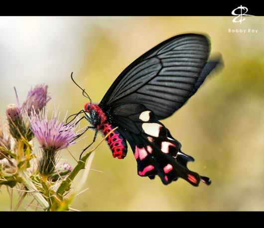 The gorgeous butterfly...